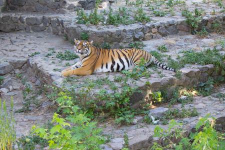 tigre cachorro: Tigre siberiano descansando a la sombra en un día soleado