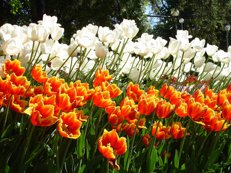 Colorful Tulips on a sunny day.