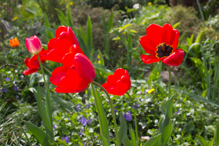 specific: Red tulip flowers on a sunny day
