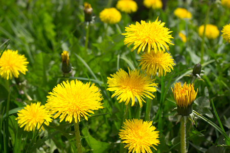specific: An area with many blooming dandelion Stock Photo