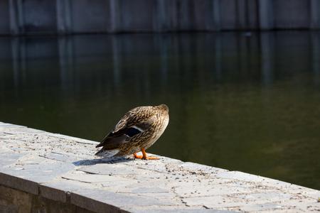 A female mallard duck in a summer day