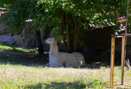 Lama in the open aviary in summer day