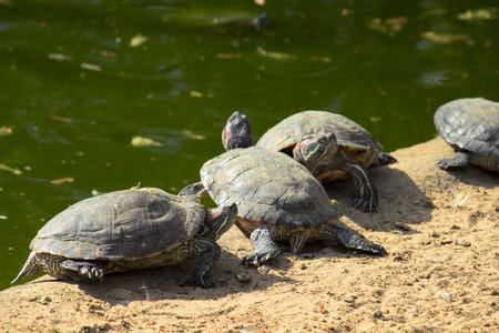 Turtle or tortoise on the shore. Wildlife animals.