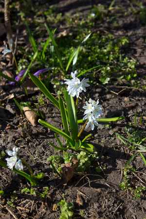 Striped squill or Puschkinia scilloides - view of blooming spring flowers growing in a garden Reklamní fotografie