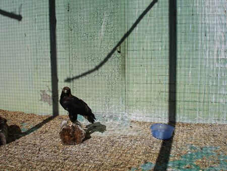 eagle sitting in a cage. Wild bird Banco de Imagens