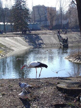 Wild white stork in the winter park