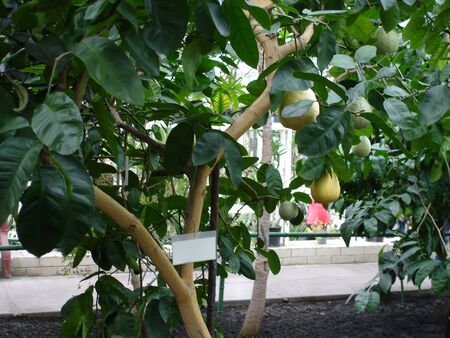 Lemon tree with selecting ripe lemons on the branch in greenhouse