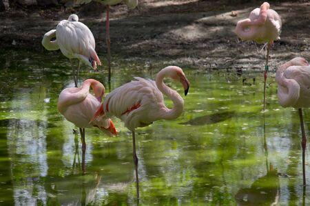 Pink flamingo birds relaxing in a garden pond