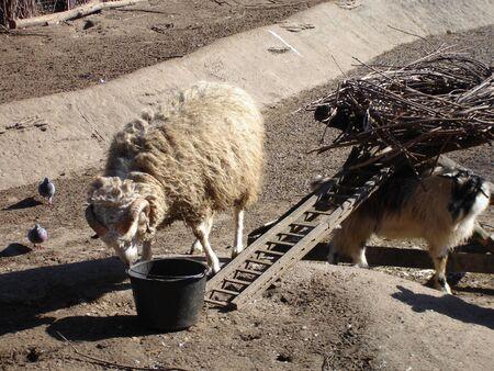 Domestic ram in a sunny day. Domestic animal