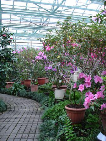Azalea flowers blooming in greenhouse