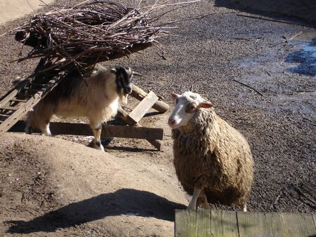 Domestic sheep in a sunny day. Domestic animal