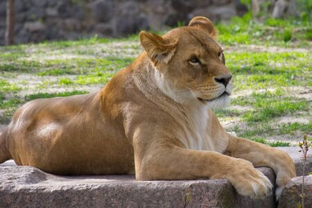 Lioness resting lying on a rock. Wild animal Banco de Imagens