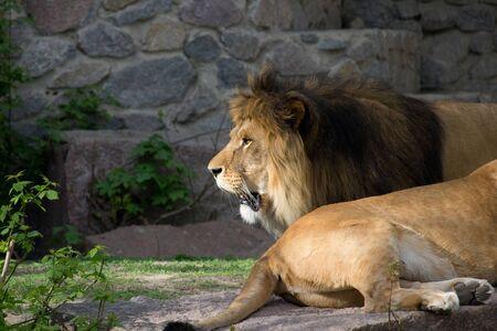 Lion resting at summer day. Wild animal