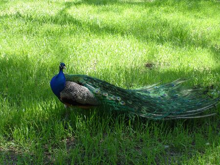 Walking male peacock on the grass in the park Banco de Imagens