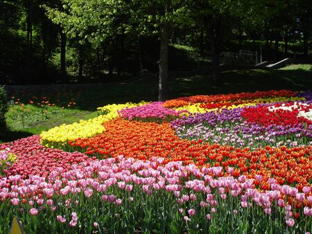 Colorful Tulips on a sunny day