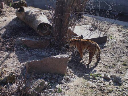 Siberian tiger walking in the springtime