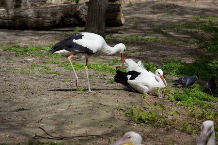 Wild white stork in the summer park