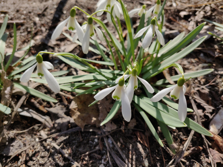 White spring snowdrop flowers in the forest, outdoor