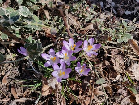 crocus spring flowers in springtime, outdoor Banco de Imagens