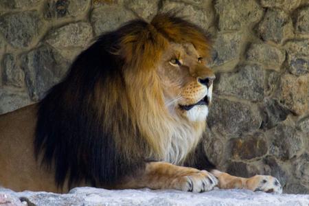 Leeuw rust op zomerdag. Wild dier