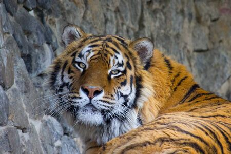 Siberian tiger resting on a summer day