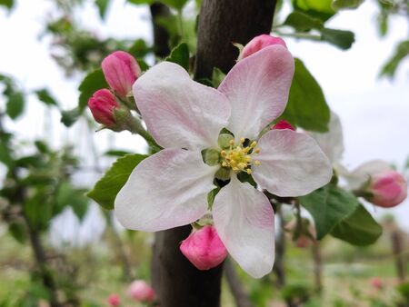 apple blossoms on apple tree branch on the springtime