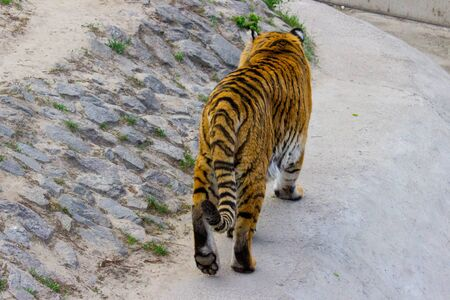 Siberian tiger walking on a summer day