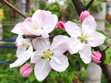 white apple blossoms on apple tree branch on the springtime