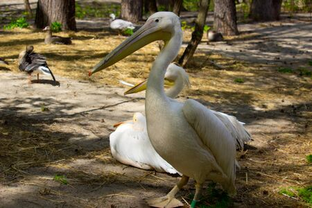 Pelican at summer day. Wild bird Banco de Imagens