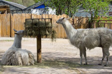 Llama in the open aviary in summer day