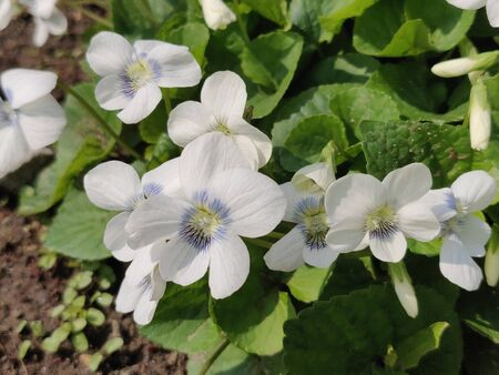 Fresh Violet flower blossom in springtime