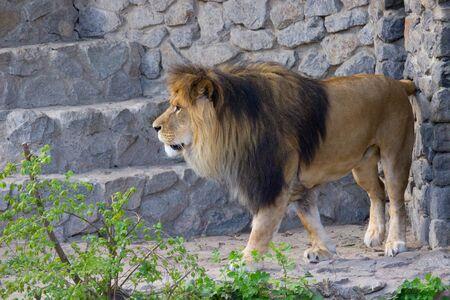 Lion walking on a summer day. Wild animal Banco de Imagens