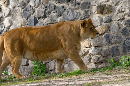 Lioness walking on a summer day. Wild animal