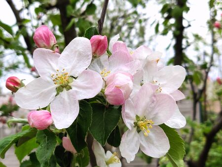 Blossoms on apple tree branch on the springtime