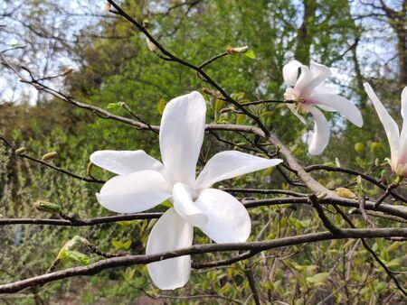 magnolia flower on the springtime in park