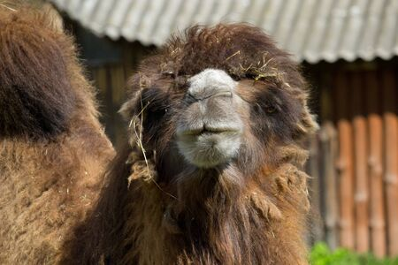 Portrait of a wild camel in the summertime. Banco de Imagens