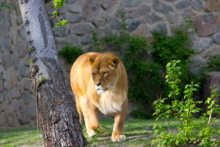 Lioness walking on a summer day. Wild animal Banco de Imagens - 132806986