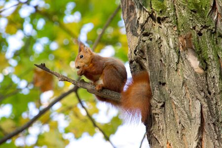 Red squirrel in the autumn park Banco de Imagens - 133015021