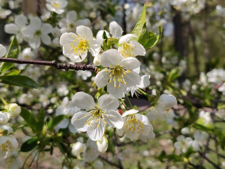 Cherry blossom flowers on the branch in springtime