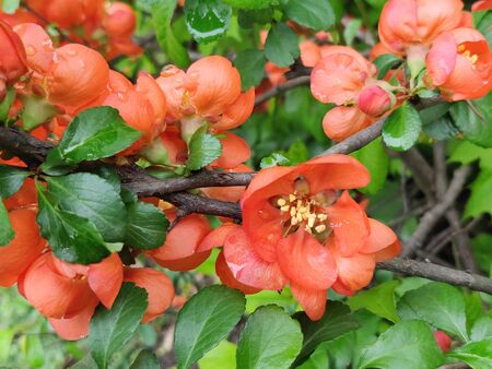 Japanese Quince or Chaenomeles japonica. Flowers of Chaenomeles japonica in the spring garden