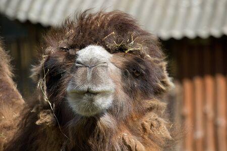 Portrait of a wild camel in the summertime. Banco de Imagens - 133288290