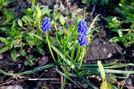 Blue muscari armeniacum botryoides or grape hyacinth