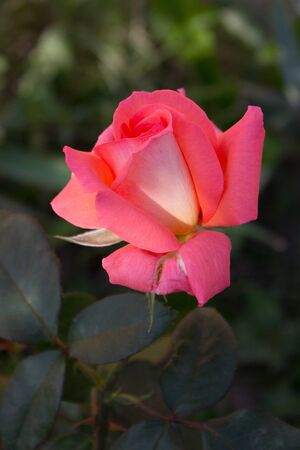 Photo of a blooming pink rose in a garden