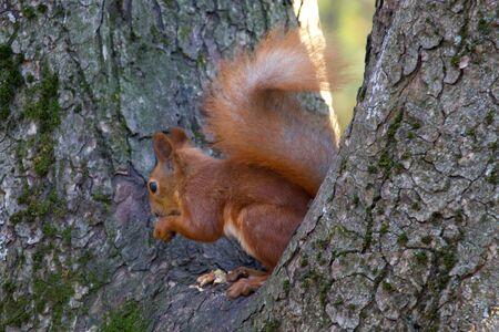 Red squirrel in the autumn park Banco de Imagens