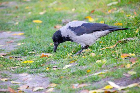 Crow bird in the autumn park