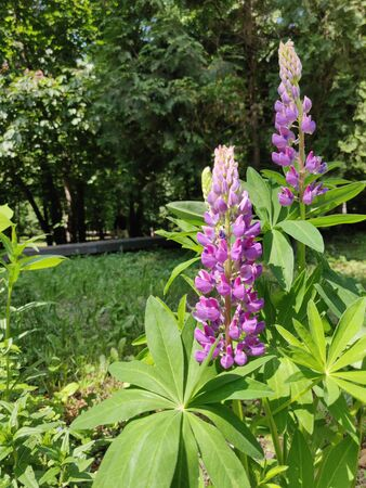 Lupine blooming in the field on the springtime