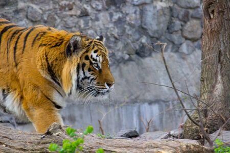 Siberian tiger walking on a summer day