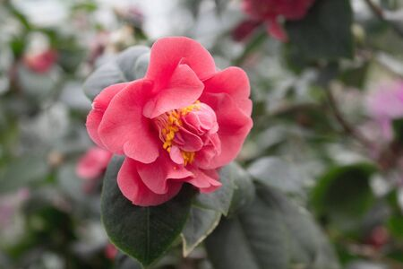 Camellia flower blooming on the springtime in park