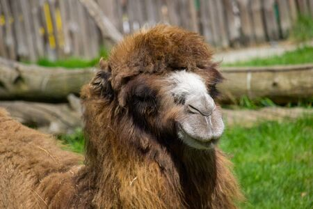 Camel. Portrait of a wild camel in the summertime. Banco de Imagens