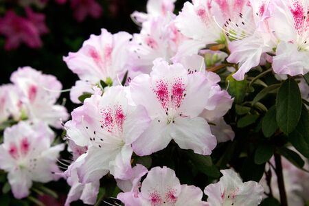 Azalea flower blooming on the springtime in park Zdjęcie Seryjne